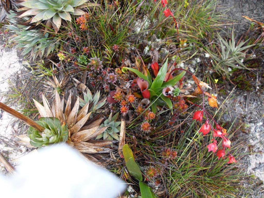plantas endémicas en Roraima
